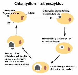 Chlamydien - Chlamydophila pneumoniae Lbenszyklus