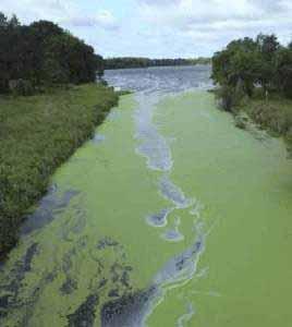 Cyanobacterien können Gewässer vergiften.