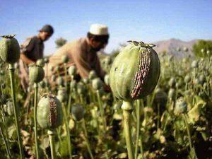 Heroin wird aus dem Schlafmohn gewonnen, dem Grundstoff des Opiums.