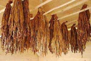 Der Nikotinanteil in getrocknetem Tabak liegt bei 0,6 – 2,9 % der Trockenmasse.