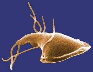 Giardien können Krankheiten bei Menschen und Tieren verursachen.