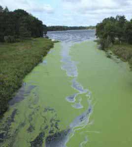 Cyanobakterien werden umgangssprachlich als Blaualgen bezeichnet und finden sich auf phosphatreichen Gewässern.
