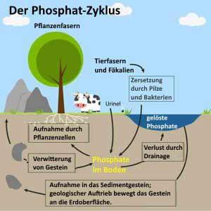 Zuviel Phosphat bringt den Phosphor-Kreislauf aus dem Gleichgewicht.