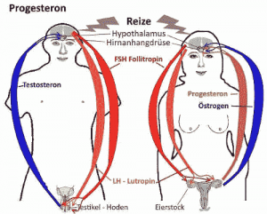 Zu den menschlichen Sexualhormonen zählt Progesteron.