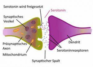 Die Konzentration von Serotonin wird über Rezeptoren im synaptischen Spalt gesteuert.