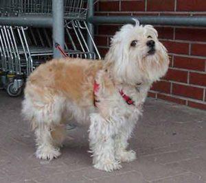 Ein Hunde DNA-Test bringt Klarheit, ob ein Mischlingshund gefährdet ist, Erbkrankheiten zu entwickeln.