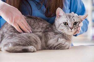 Hat die Katze sichtbar Schmerzen, sollte die Blasenentzündung von einem Tierarzt behandelt werden.