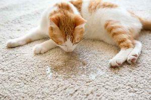 Wenn die Katze überall hin pinkelt, ist dies ein häufiges Symptom für eine Blasenentzündung bei Katzen.