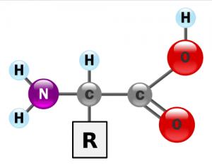 Aminosäuren sind die Bausteine der lebensnotwendigen Proteine.